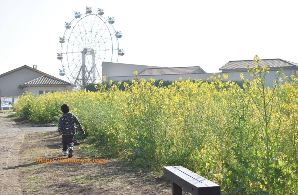 ソレイユの丘の菜の花畑