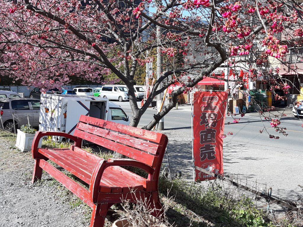 河津桜の並木から見える酒造力ののぼり