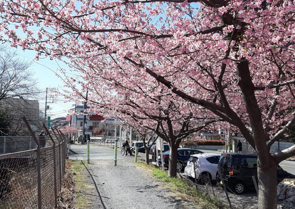 2021年見沼用水路西縁の河津桜の並木です