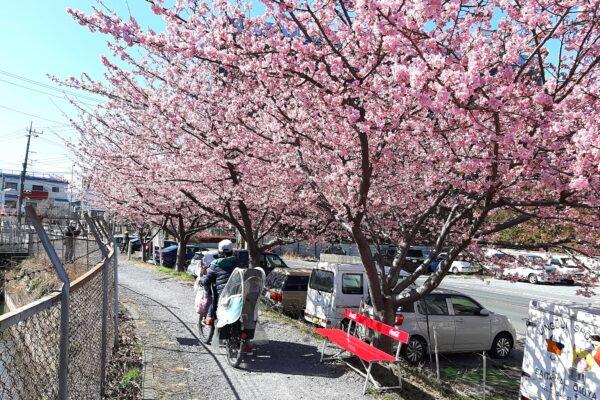 2021年2月下旬の見沼用水路西縁の河津桜の並木-